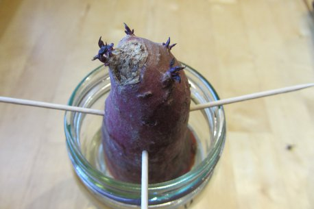 Süßkartoffel, erste Triebe, Süßkartoffeltriebe