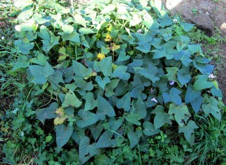 Eine Süßkartoffelpflanze im September